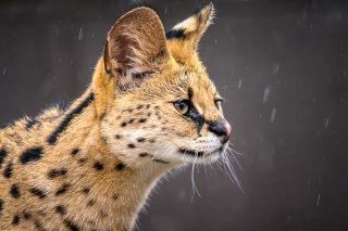 Serval Captured at Werribee Open Park Zoo