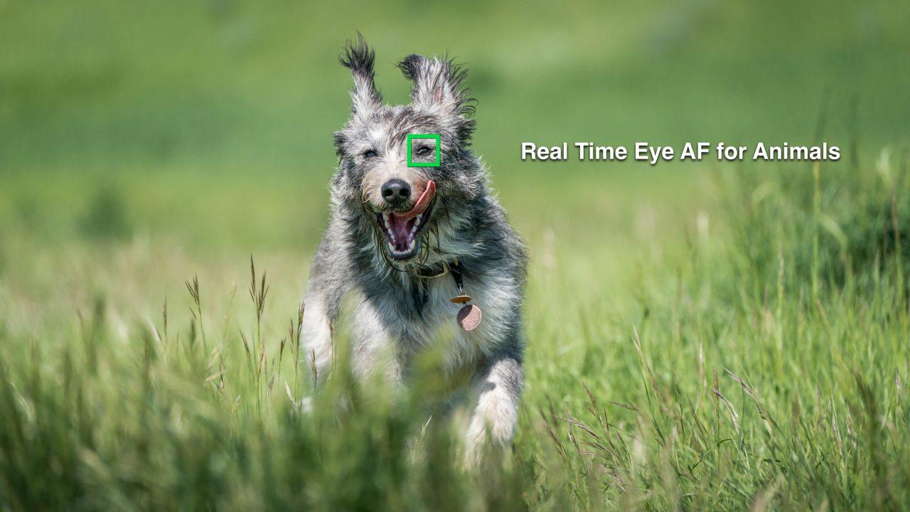 Eye AF Animals